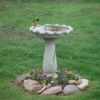 Oriole in Bird Bath